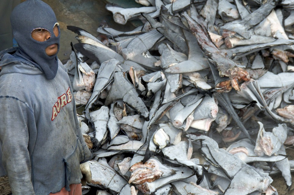 cast study ban on shark fin Down to earth brings to you latest news,  a recent study attributes increasing surface air temperature over  kerala hc upholds ban on export of shark fin.